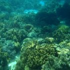 Corals in pristine condition adorn Moalboal's seas, making it perfect for snorkeling and diving. Click on photo to enlarge. (PHOTO BY MAX LIMPAG)